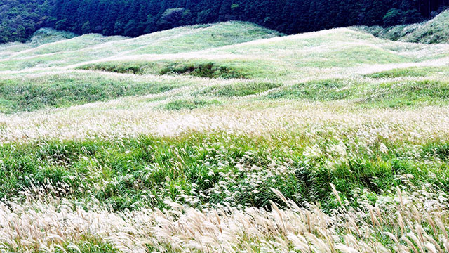 Sengokuhara pampas grass field2
