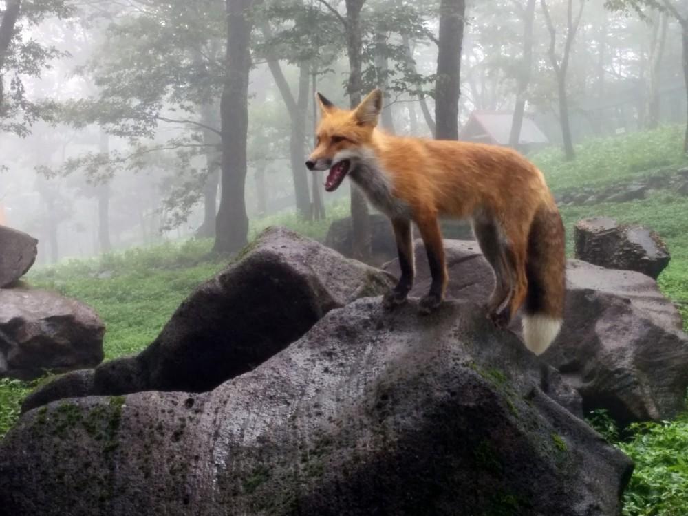 Miyagi fox village in zao 86471